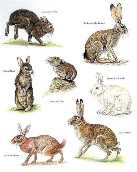 animals with hair books rabbits volcano rabbit northern pika brown hare