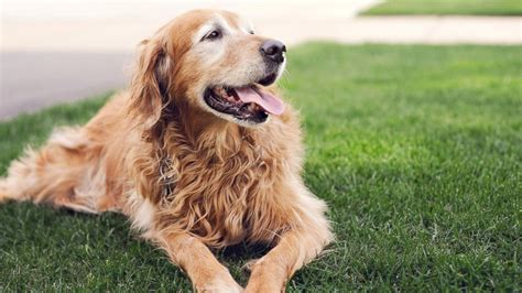 how heavy do golden retrievers get wellness pet food
