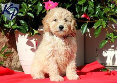 mini doodle virginia tinsel miniature goldendoodle puppy www keystonepuppies