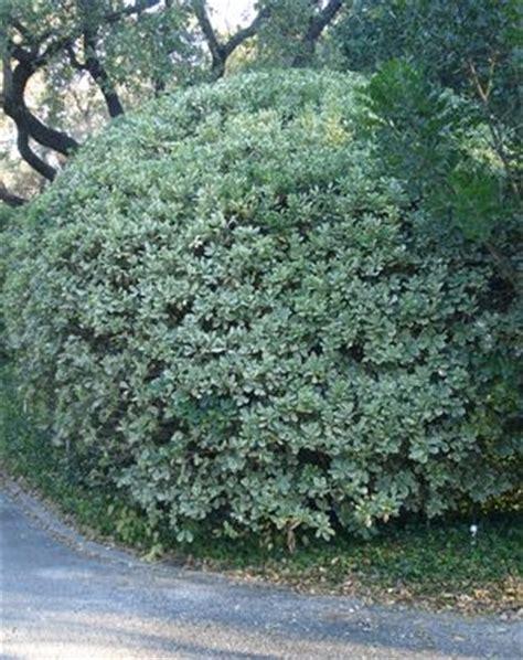 pittosporum tobira variegata pittosporum variegated  mortellaros