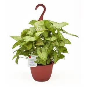 Fragrant House Plants - shop exotic angel plants 1 37 quart nephthytis hanging basket l9405hp at lowes com