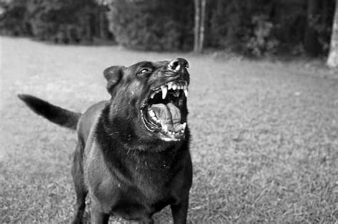 puppy growls when picked up the 25 best growling ideas on behavior psychology and guard