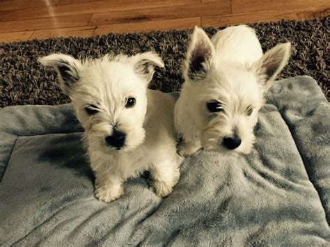westie puppy for sale westie puppies for sale downpatrick county pets4homes