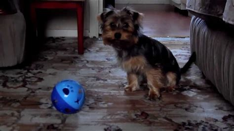 five yorkies rolo with his cat 5 month terrier puppy