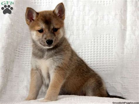 craigslist puppies pa craigslist pennsylvania pomsky puppies for sale pomsky picture breeds picture
