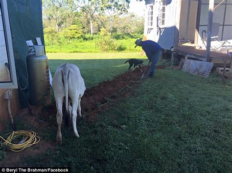 the dog house north webster in meet beryl the cow from north queensdland who thinks she s a dog daily mail online