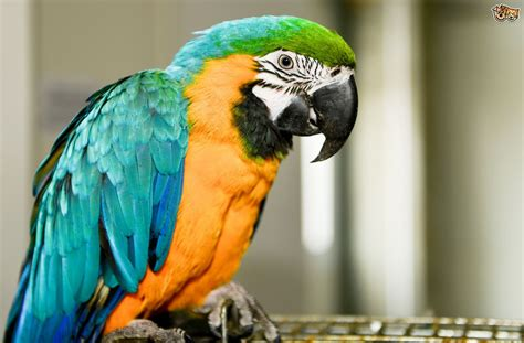 image gallery indoors pet parrot blue