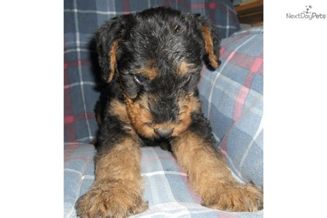 airedale terrier puppies for sale airedale terrier puppies for sale from reputable breeders airedale terriers puppies