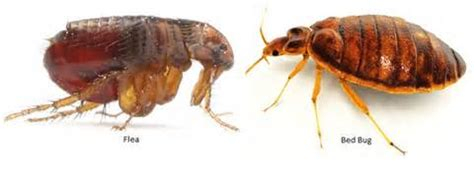 difference between fleas and bed bugs how to tell between fleas and bed bugs detection prevention and treatment healdove