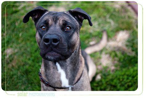rottweiler akita mix boxer doberman mix puppies breeds picture
