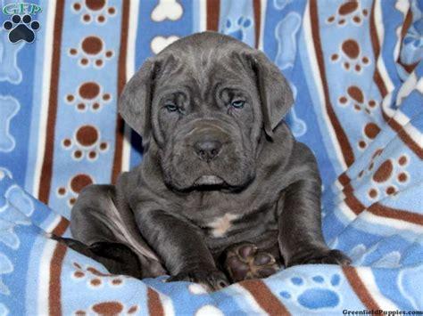 neapolitan mastiff puppies for sale in pa neapolitan mastiff puppies for sale greenfield puppies