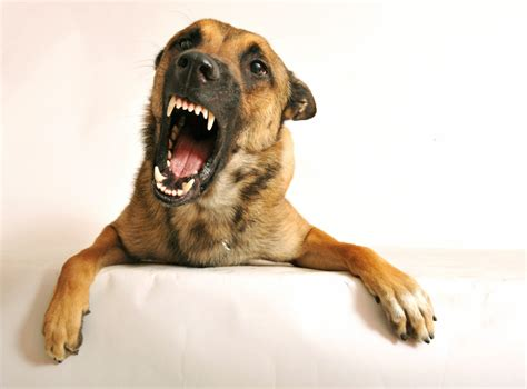 aggressive puppy biting and growling growling is trying to tell you something venn