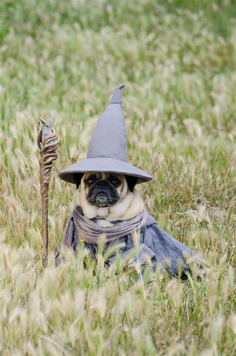 wizard pug costume 99 pugs
