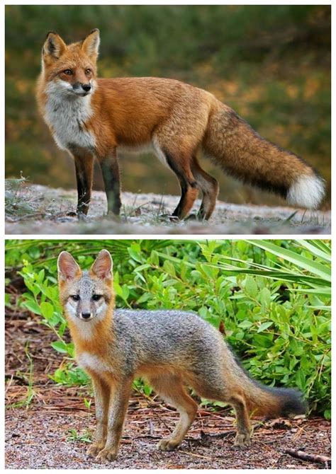 Garden Rodents Types - foxes on the trail simply appalachian