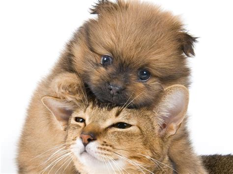 puppy and cat cats and dogs wallpapers animals wiki