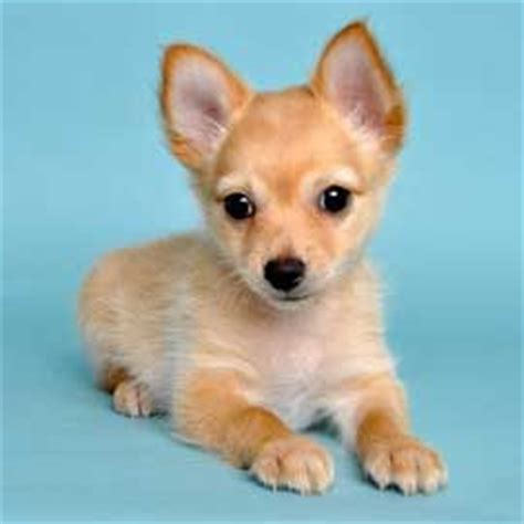 half pomeranian half chihuahua for sale puppys pomeranians and chihuahuas on