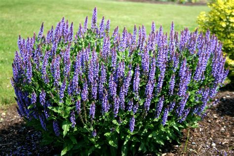 best perennials salvia blue hill meadow sage youtube