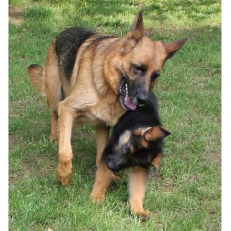 german shepherd puppies wisconsin roche s german shepherds german shepherd stud in east troy wisconsin listing id