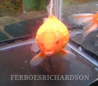 Pakan Ikan Koki Mutiara koki mutiara perawatan dan pemeliharaannya ferboes