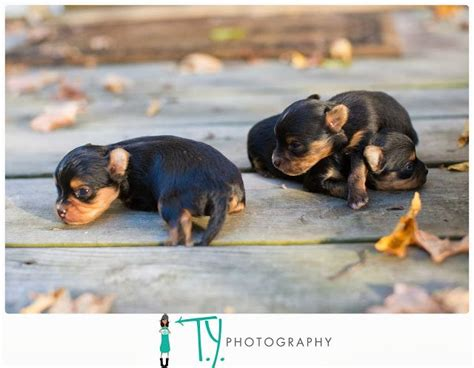 raising yorkie puppies 495 best ideas about on poodles shetland sheepdog and yorkie