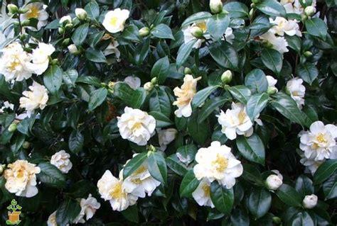 camellia flowering shrub white camellia the planting tree
