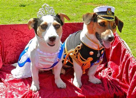 costumes  prove jack russells  win  halloween