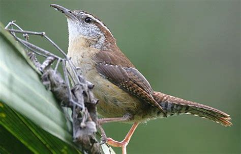 1000 images about birds of nc on pinterest north