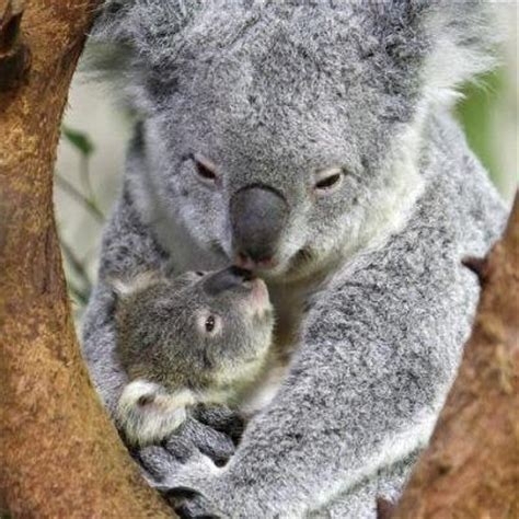 female koala pouch the 374 best images about australia fauna on pinterest