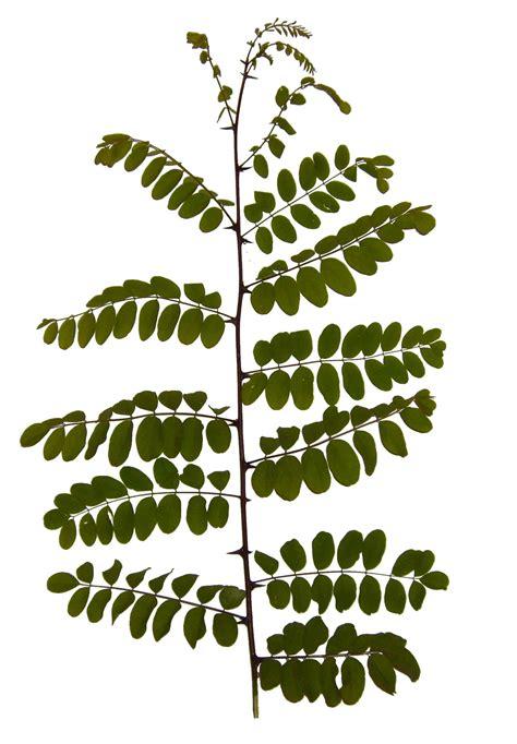 leaf pattern wiki file leaf leaves branch acacia jpg wikimedia commons