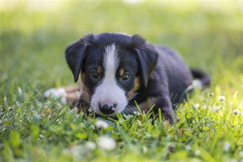 puppy impetigo what is impetigo in dogs canna pet 174