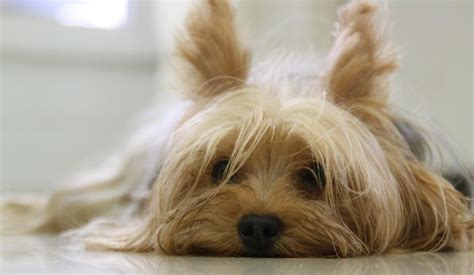 interesting facts about yorkies yorkies 5 interesting facts you didn t me
