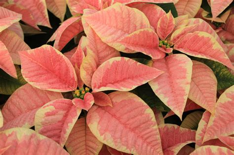related keywords suggestions for marble poinsettia