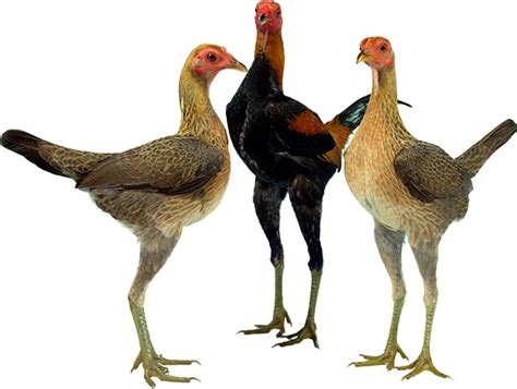 Gamas Moderen modern chickens