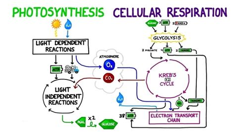 Differences Between Photosynthesis And Cellular Respiration