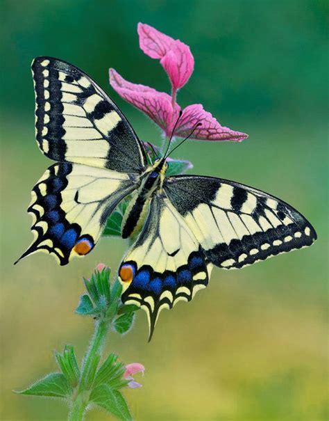 imagenes jpg mariposas imagen de mariposas hermosas imagenes de mariposas