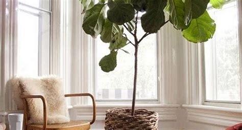 pianta da vaso sempreverde piante da vaso sempreverdi piante da terrazzo piante