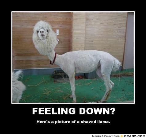 Shaved Llama Meme - feeling down shaved llama meme