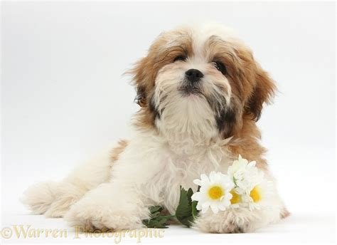 shih tzu photography maltese x shih tzu pup with flowers photo wp35286