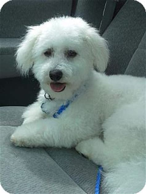 golden retriever rescue cincinnati ohio danella adopted puppy cincinnati oh poodle miniature golden retriever mix