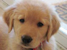 maremma sheepdog golden retriever mix 1000 images about maremma lab x on maremma sheepdog elkhound