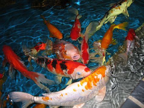 imagenes de zen koi galer 237 a de im 225 genes pez carpa koi