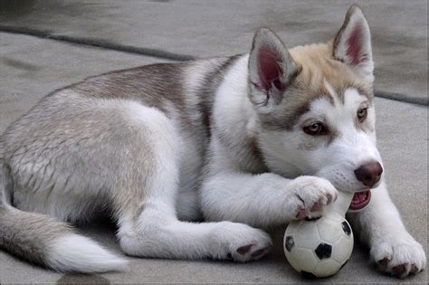 how many puppies can a husky siberian husky puppies are one of the fastest learning breeds gt puppy toob
