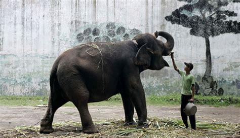 Tiga Gajah Putih gajah kebun binatang surabaya kirab bendera nasional