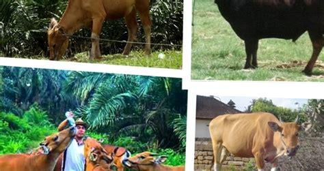 Jual Starbio Plus Di Medan ternak sapi bali dan ciri ciri sapi bali yang perlu
