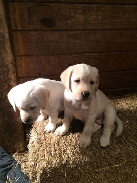 golden lab puppies for sale near me labrador retriever breeder dc photo