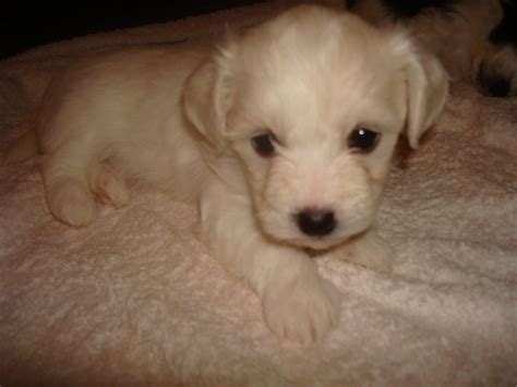 havanese bichon frise mix bichon frise havanese mix www imgkid the image kid has it