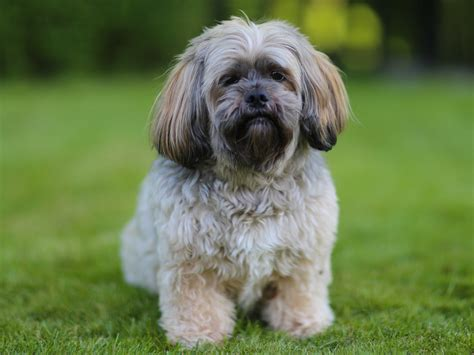shih tzu lhasa apso expectancy the breeds that live the business insider