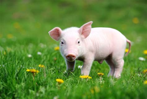 about pet pet piglet
