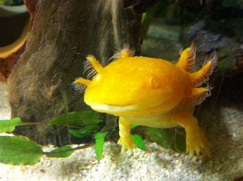 Jig006 To Survive Nature Yellow axolotl water tellwut