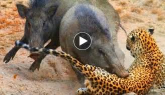 pitchers of animals animal attacks like success
